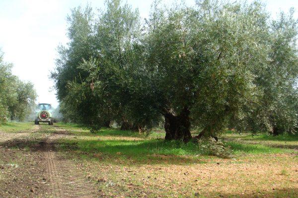 Olivar-eco