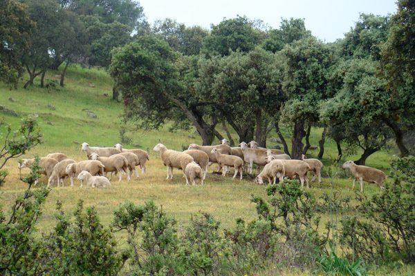 Rebaño-ovejas-eco